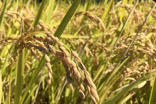 奥大山の水で育った特別栽培米コシヒカリ 2kg