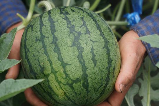 【6月中旬まで!】農薬・化学肥料不使用 小玉スイカ2Lサイズ(2〜2.5kg) 1玉