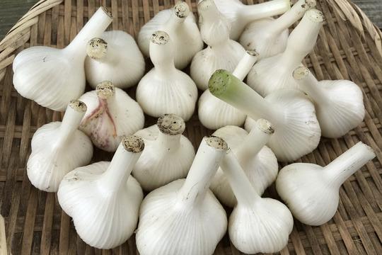 青森県八戸市南郷より 自然農法で育ったまろやか生にんにく 1kg