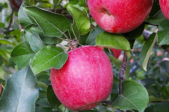 【家庭用】葉とらずサンふじ 3kg 約10個