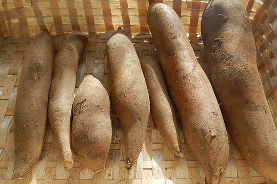 シャキシャキ食感 【無肥料・無農薬栽培】ヤーコン(1kg)