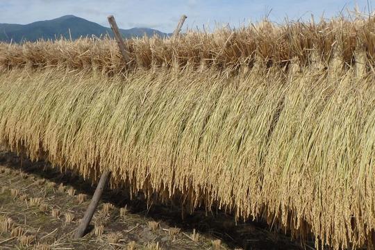 【30年産】八ヶ岳 山のカエル米 (玄米) 5kg