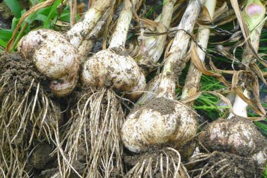 無農薬*ジューシィ!ジャンボニンニク1kg