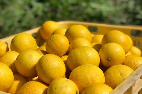 【熱海産♨農薬不使用】ニューサマーオレンジ 約2.5kg