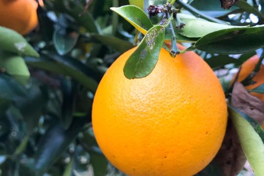 【熱海産♨農薬不使用】樹上甘熟!ネーブルオレンジ 約4kg