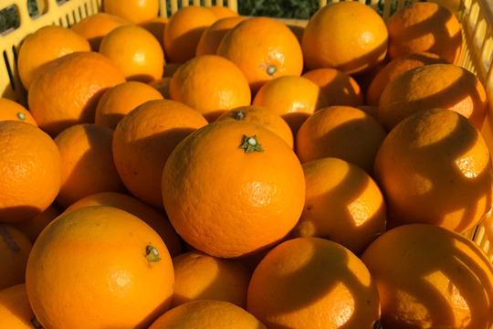 """【熱海産♨農薬不使用】""""紅""""ニューサマーオレンジ 約2.5kg"""