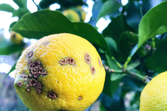 【熱海産♨農薬不使用】「熱海レモン」B(Bravo)チーム 約1kg