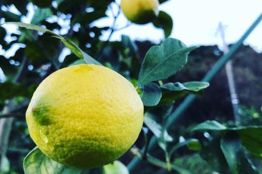 【熱海産♨農薬不使用】日本レモン発祥の地「熱海レモン」A(Ace)チーム約1kg