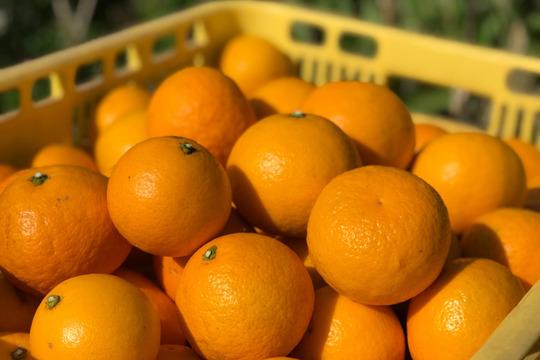 """【熱海産♨農薬不使用】""""紅""""ニューサマーオレンジ 約8kg"""
