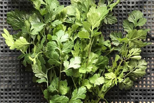 無農薬栽培のパクチー(香菜、コリアンダー)