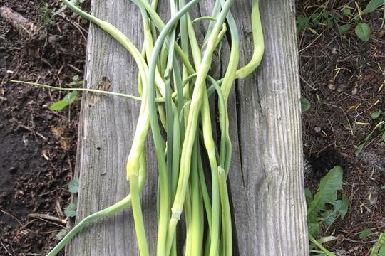 期間限定! おまけつき 青森県八戸市南郷より 自然農法で育った にんにくの芽 1kg
