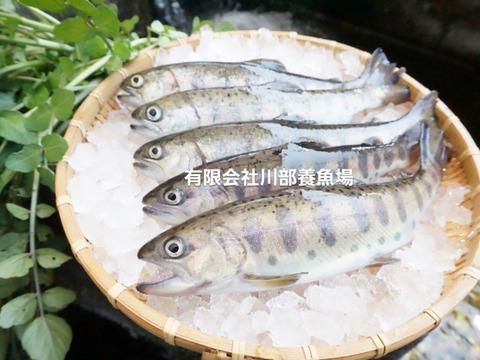 活〆急速冷凍!阿蘇から届く!! まぼろしの魚・湧水やまめ(7匹冷凍)