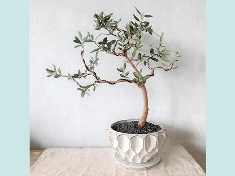 【母の日ギフトにも◎】オリーブ盆栽 マンザニロ  (PS58)