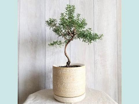 【食べられる盆栽】ローズマリー盆栽 プロストラータス (PS133)