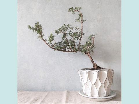 【食べられる盆栽】ローズマリー盆栽 サンタバーバラ (PS89)