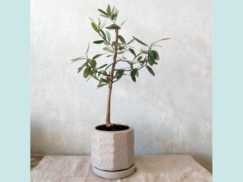 【ギフトにも◎】オリーブ盆栽 シプレッシーノ  (PS61)