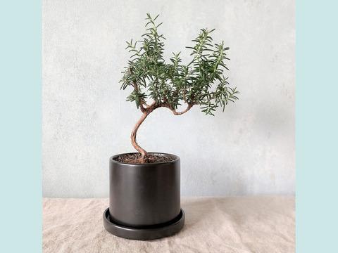 【食べられる盆栽】ローズマリー盆栽 サンタバーバラ (PS109)