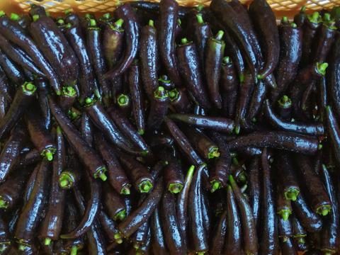 超レアー*真っ黒シシトウ500g~猛暑なんかこわくない‼農薬/化学肥料・不使用