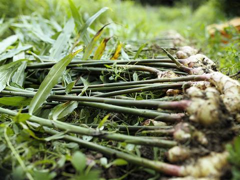 自然栽培 土佐一 新生姜500g 土付き