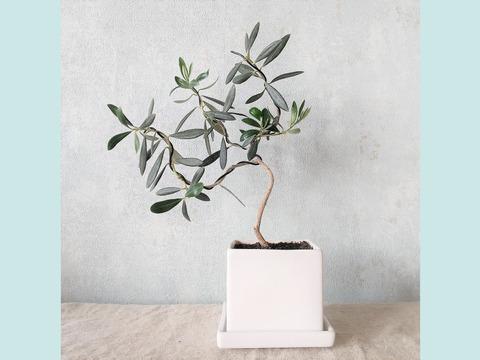【ギフトにも◎】オリーブ盆栽 マンザニロ  (PS80)