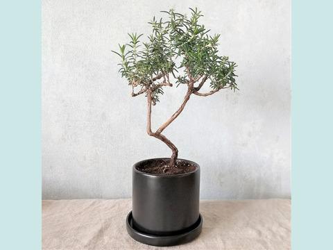 【食べられる盆栽】ローズマリー盆栽 サンタバーバラ (PS108)
