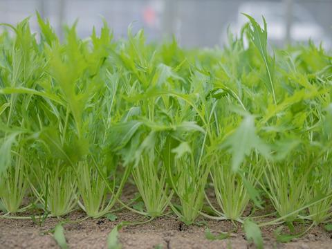 ASIAGAP認証農場のシャキシャキ新鮮水菜