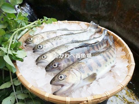 阿蘇から届く まぼろしの魚・かわべの湧水やまめ(7匹冷凍)
