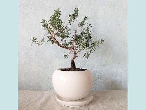 【食べられる盆栽】ローズマリー盆栽 サンタバーバラ (PS71)