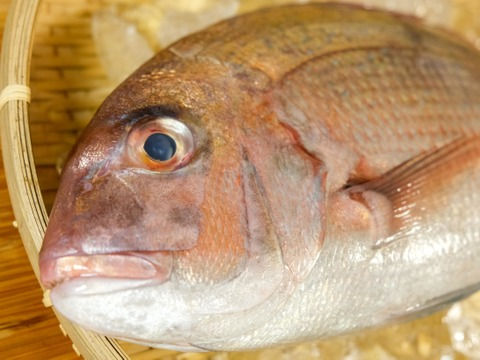 日本海の天然真鯛。尾頭付き!【記念日・お祝いに!】