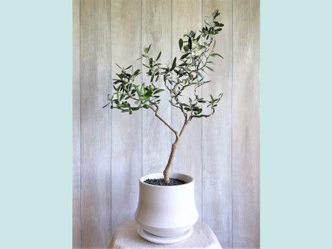 【ギフトにも◎】オリーブ盆栽 マンザニロ  (PS56)