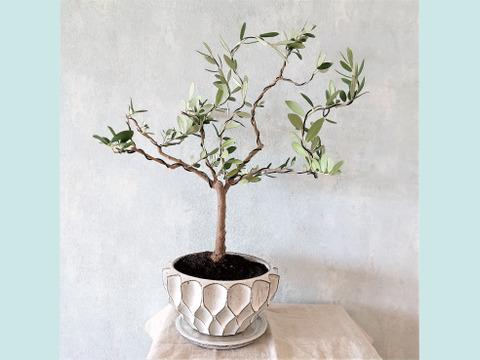 【ギフトにも◎】オリーブ盆栽 マンザニロ  (PS55)