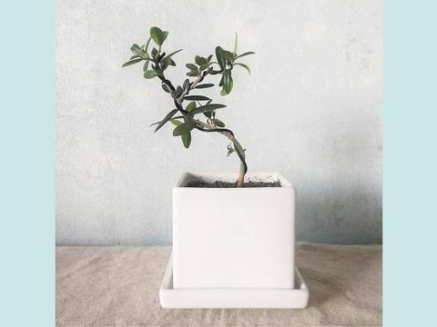 【ギフトにも◎】種から育てたオリーブ盆栽(PS121)