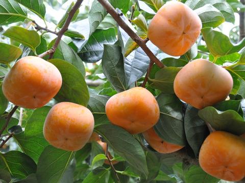 特別栽培たねなし柿【お得なご家庭用】約5㎏さっくり甘い!奈良県産