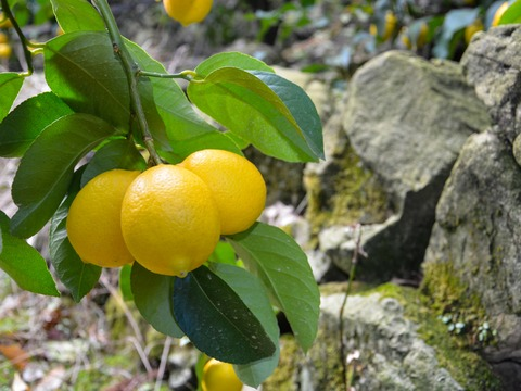 [5kg]皮まで安心してご使用いただける低農薬レモン(大小混合)