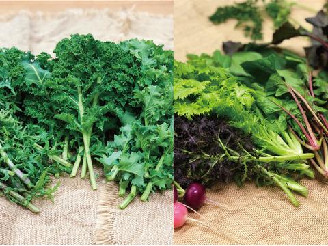 ケールとサラダのセット+ビーツ2㎏〈化学肥料農薬不使用〉