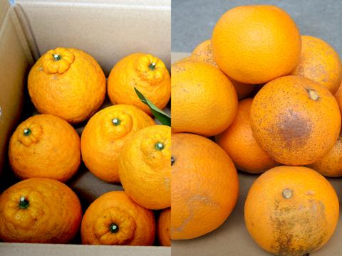 ☆和歌山産☆ 柑橘2種ミックス 8kg/三宝柑・八朔(訳あり)
