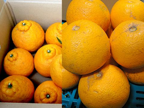 ☆和歌山産☆ 柑橘2種ミックス 8kg/三宝柑・八朔