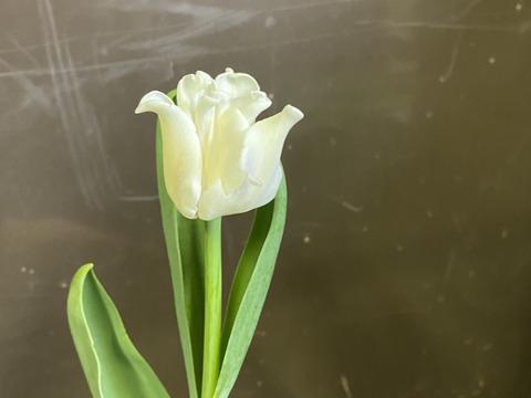 【期間限定】日持ち処理済!新潟の『チューリップ』切花(白20本)