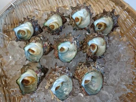 日本海の荒波で育ったサザエ3キロ (サイズ中)約30個~36個