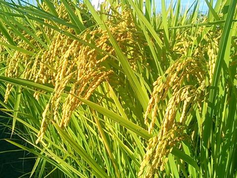 もっちり、つやつや!5分づき米4.5kg 喜多村家のお米 にこ 訳あり品