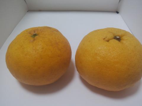残りわずか‼️【愛媛県産】完熟甘夏4kg