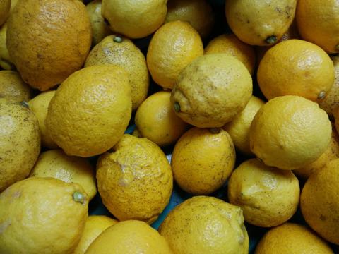 【尾道】農薬不使用レモン B品 10kg