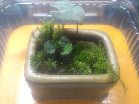 癒しを演出します(o^^o)【ミニ苔盆栽】鉢付き!かなり小さいから管理も楽、場所もとらないし、しかも軽い。