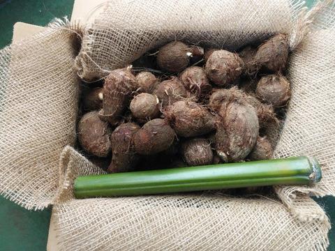 【12月12日収穫】農薬・化学肥料不使用 里芋(土垂)*風袋込み2㎏ 青竹プレゼント付き