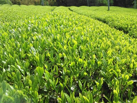 (新茶)上品な爽やかさと香り 特上煎茶 -月光陽光2020- 65g