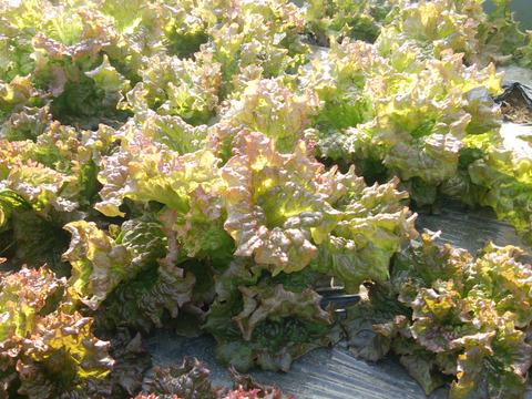 ※終了間近:爽やかさが口に広がる!春のレタスサラダセット(60サイズ)