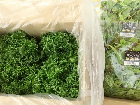 【バリューセット】1玉約300g!!の完全閉鎖型植物工場産フリルレタス(4玉)と朝獲りベビーリーフ300g×2のセット