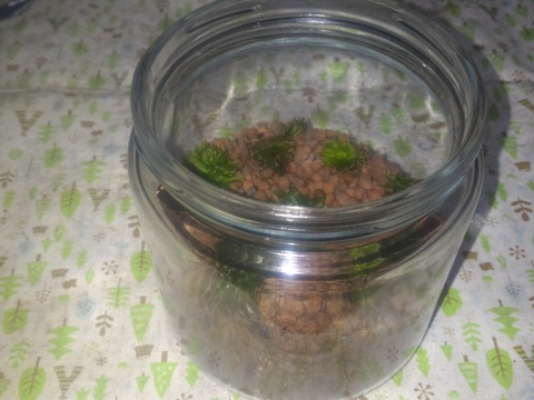【限定】【苔テラリウム】【直径約9cmガラスポット蓋はプラスチック】【内容量1ヶ】【観賞用 花・植物】