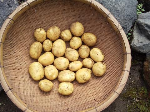 【農薬不使用】新ジャガイモ 十勝こがね9キロ