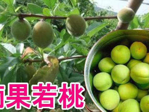 加工用摘果若桃3kg 手作りの甘露煮やジャムに 福島の桃 あかつき・白鳳・川中島